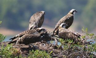 Águilas pescadoras.