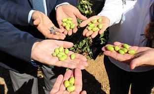 Variedades de olivo.