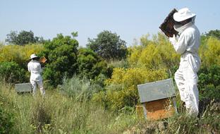 Los más de dos millones de euros en incentivos se reparten entre 1.226 apicultores que suman un total de 386.970 colmenas (casi 1,8 millones de euros) y tres entidades representativas del sector (331.922 euros).