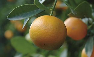 Del total de cítricos estimado, el 75% corresponderá con naranjas dulces (1.505.524 toneladas).