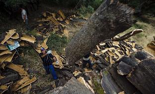 La producción de corcho andaluza se acerca a las 36.000 toneladas anuales. (Foto EFE)