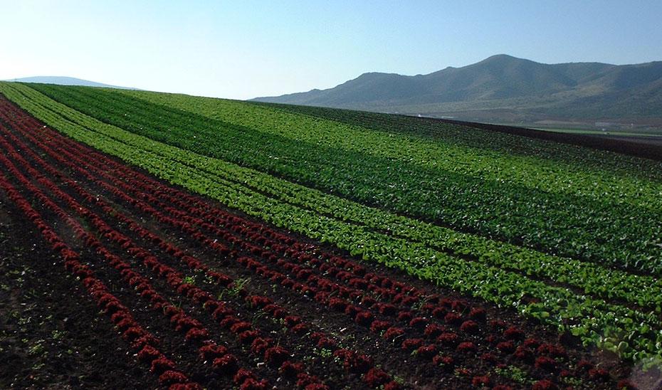 Cultivos de diferentes variedades de lechuga.