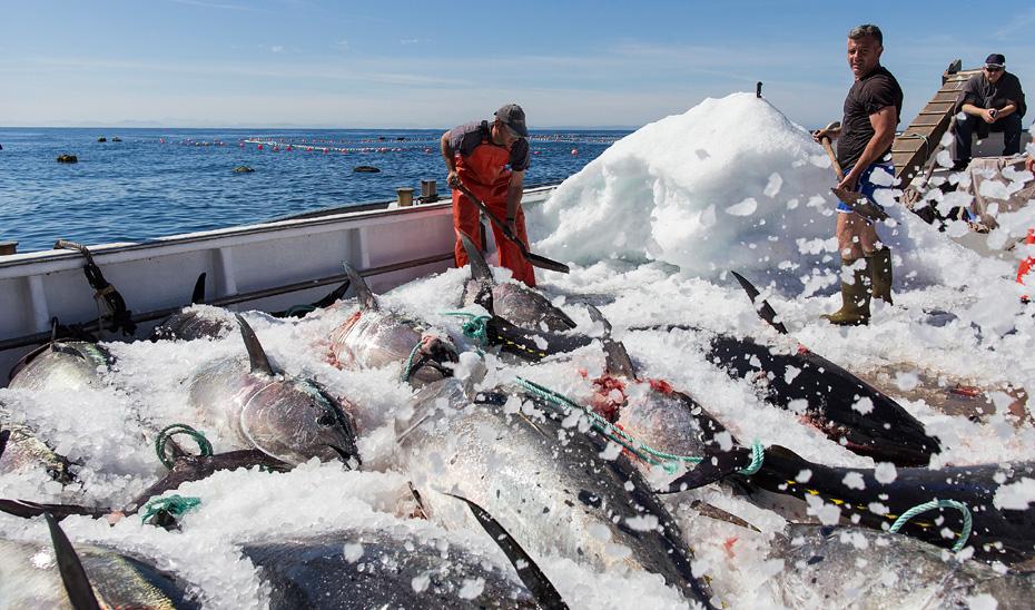 Andalucía reclama que se ponga en marcha un plan de ordenación para la pesca del atún rojo, lo que permitiría aumentar las cuotas.