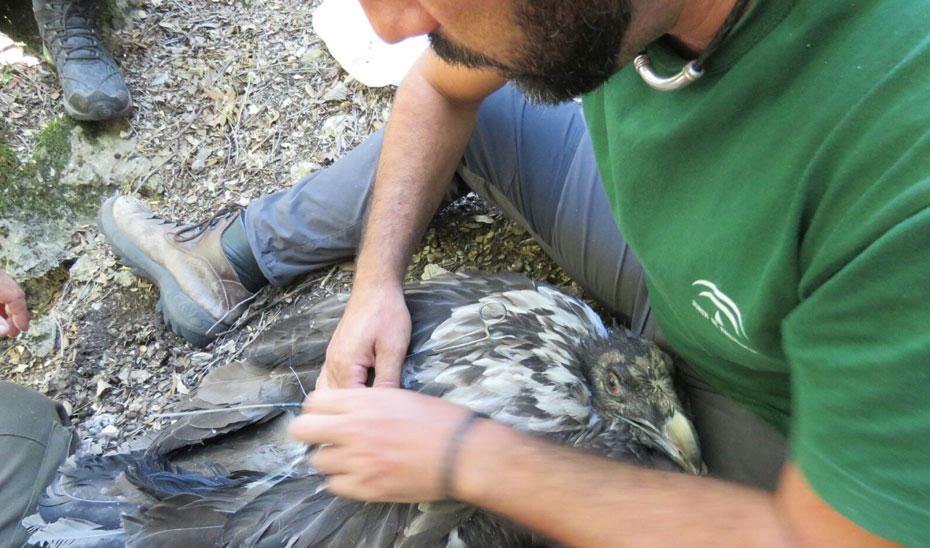 Marcaje de los dos pollos de quebrantahuesos nacidos este año en libertad