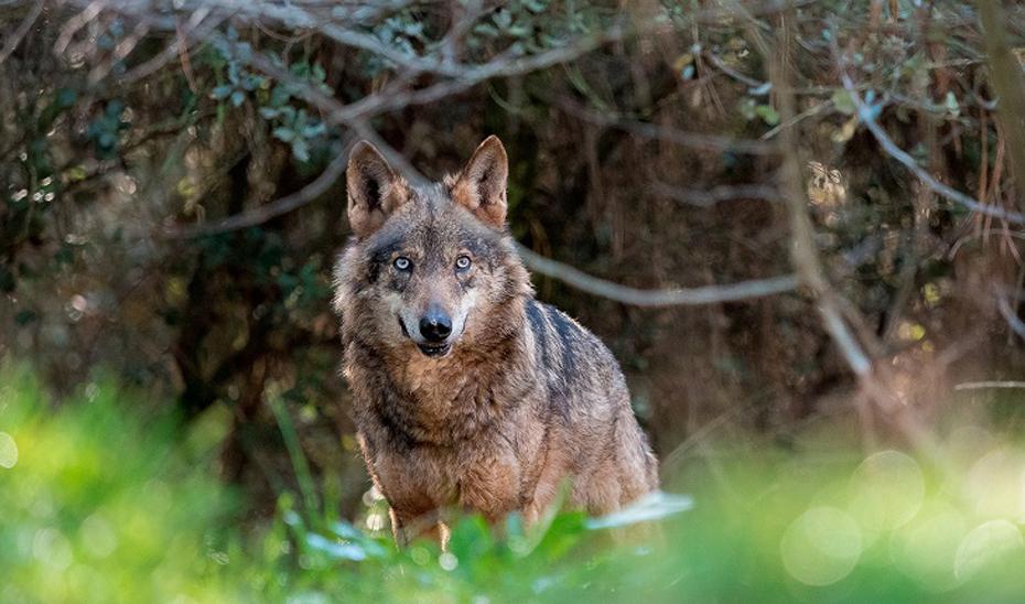 La Comisión Europea respalda las medidas adicionales adoptadas para abordar la situación del lobo en Andalucía.