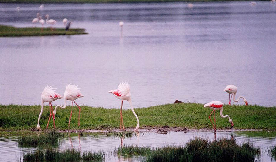 Flamencos en los humedales de Doñana.