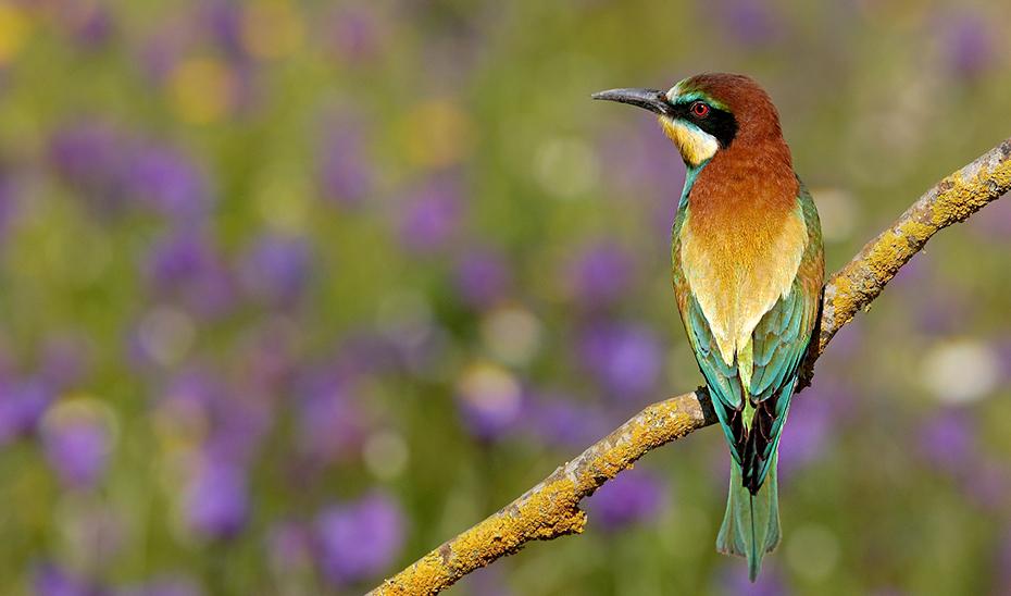 Un ejemplar de abejaruco en el entorno de Doñana.