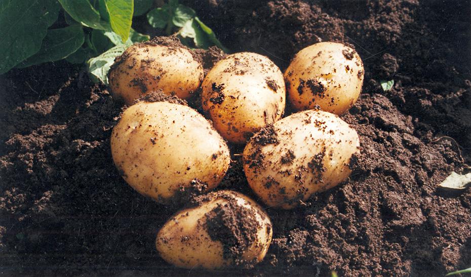 La patata nueva andaluza es muy apreciada en los mercados internacionales.