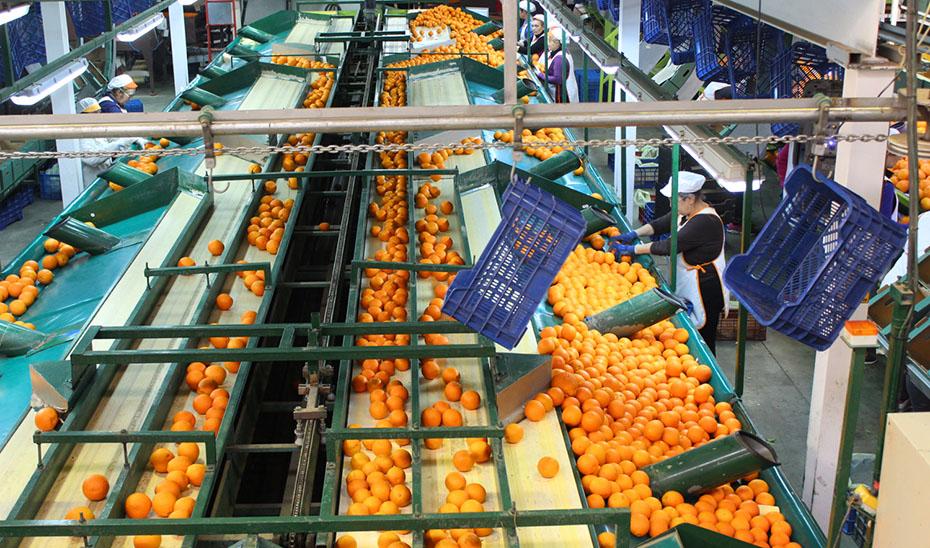 Andalucía producirá casi la mitad de las naranjas nacionales
