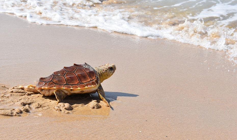 Uno de los dos ejemplares de tortuga boba recuperadas volviendo al mar en la playa de Bolonia de Tarifa.