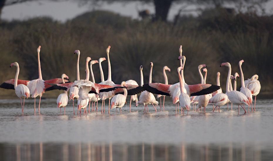 Flamencos rosas en la Laguna de Fuente de Piedra.