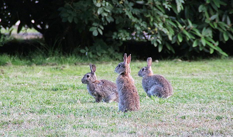 Tres conejos de campo.