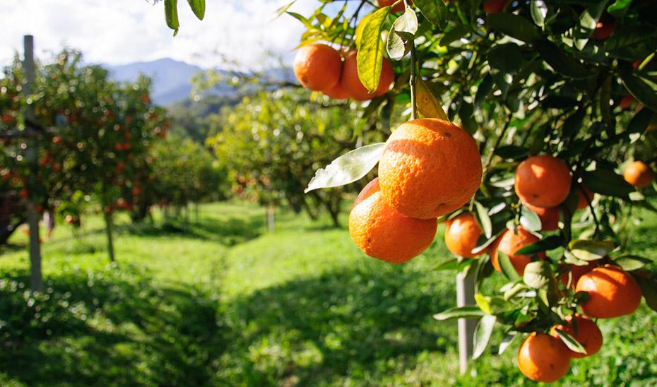 Campo de naranjas pendientes de recolectarse.