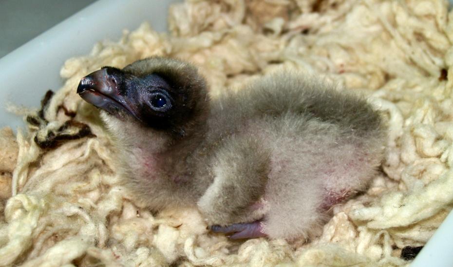 Marieke es el quinto pollo de quebrantahuesos nacido en el centro de cría de Guadalentín, en Jaén.
