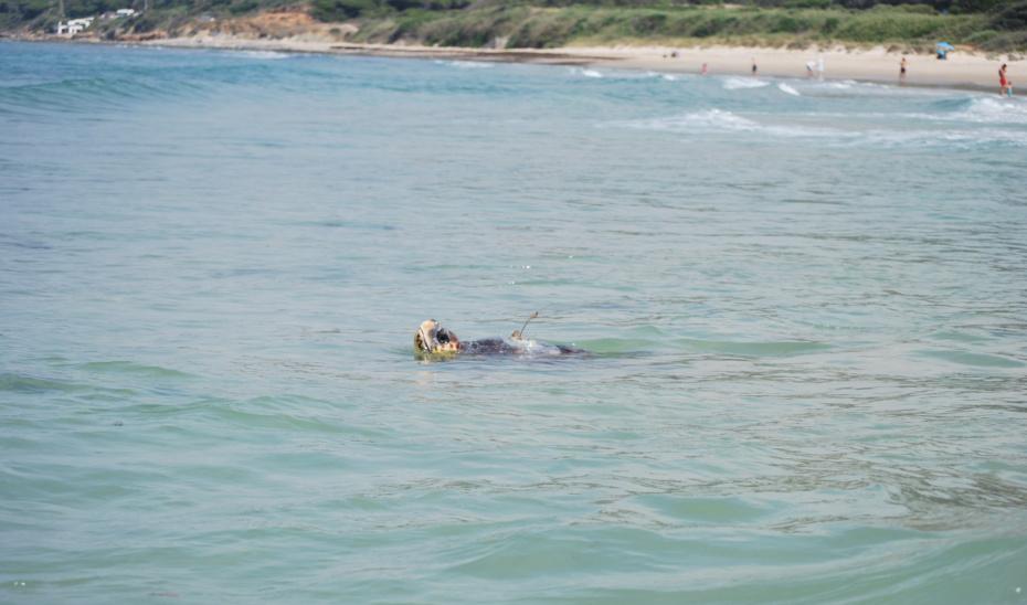 Sparrow, la tortuga boba que cruzó el Mediterráneo tras surcar Almería, Murcia, Baleares y Cerdeña