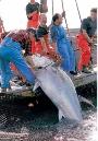 Ruta del atún rojo de almadraba