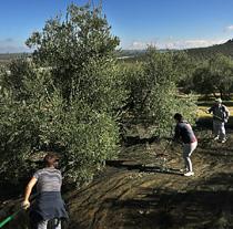 Andalucía posee 1,5 millones de hectáreas y 320.000 explotaciones olivareras (Fo