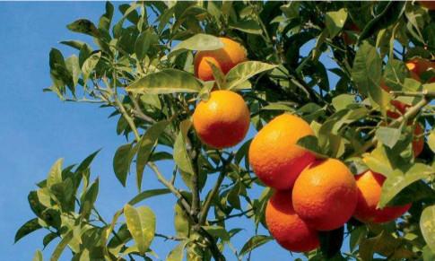 La naranja es el cítrico más abundante en Andalucía.