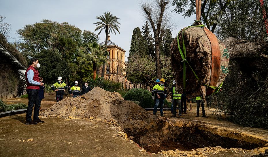 El presidente andaluz, Juanma Moreno, asistiendo esta mañana al trasplante del acebuche en los jardines del Palacio de San Telmo.
