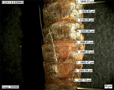 Nodos o marcas de inserción de las hojas en el rizoma pelado de un haz vertical de Posidonia