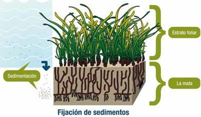 Formación de la mata de Posidonia por la combinación de sedimentación y crecimiento vertical de la planta