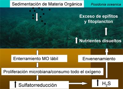 Esquema de la destrucción de las praderas marinas por exceso de aportes de materia orgánica