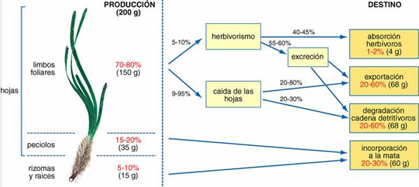 Destino de la producción primaria de una pradera media de Posidonia