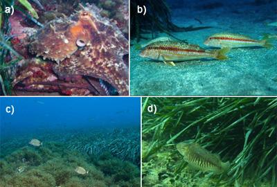 Algunas especies de interés pesquero que cazan o se reproducen en las praderas