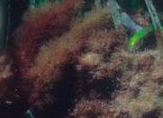 Ejemplares de Caulerpa taxifolia