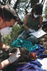 Programa de Conservación del Águila Perdicera