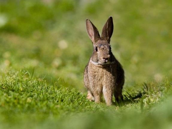 Estrategia de recuperación y gestión del conejo