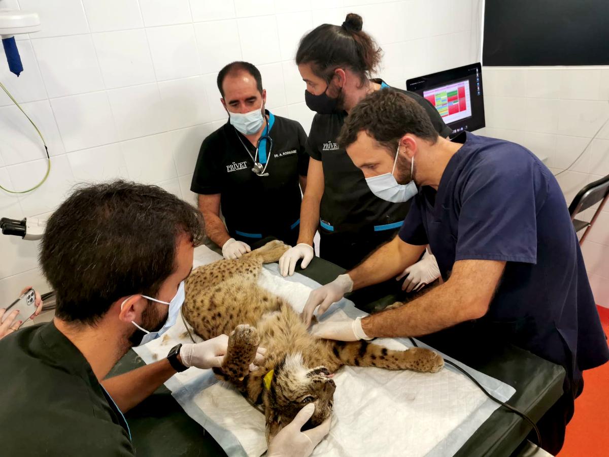 La Junta activa la colaboración con un hospital veterinario para salvar a un lince con lesión pulmonar