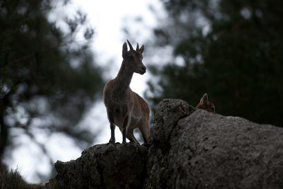 Programa de Gestión de la cabra montés en Andalucía (PACAM)