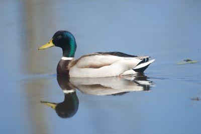 Especies cinegéticas de aves acuáticas