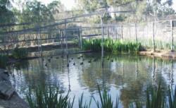Jaula de presuelta con pollos de focha moruna en las instalaciones del centro de cría en Cañada de los Pájaros