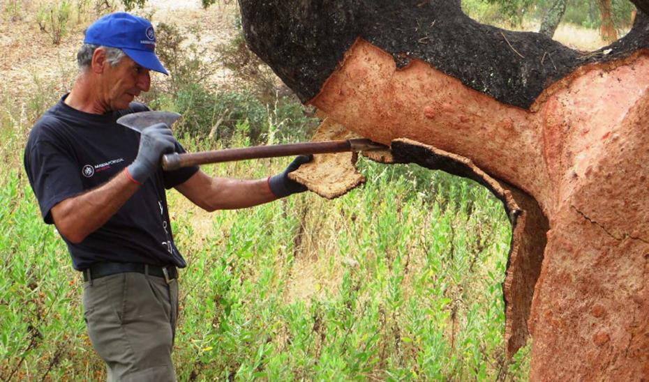 La lagarta peluda reduce la calidad del corcho y puede llegar a impedir la saca (en la imagen).