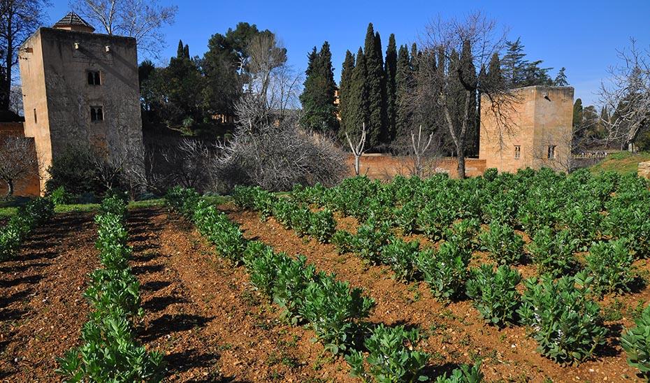 Algunos de los cultivos andalusíes que se pueden encontrar en las huertas de la Alhambra son las alcachofas, berenjenas o habas.