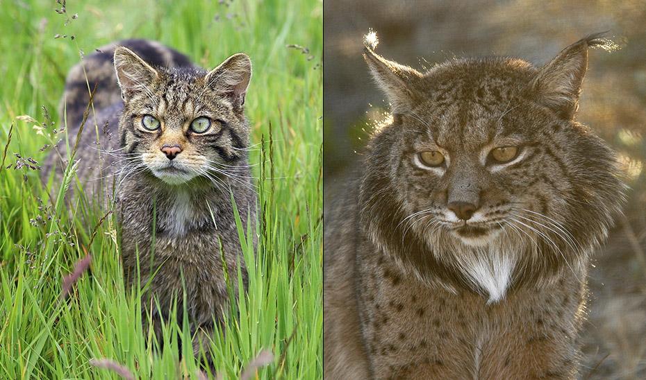 A la izquierda, gato montés de Escocia; a la derecha, lince ibérico.