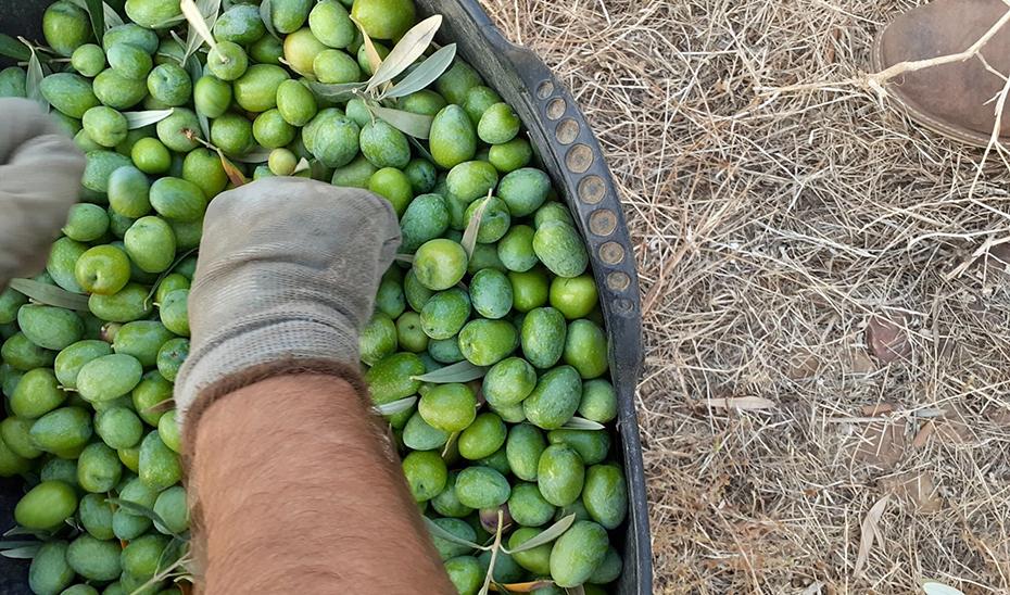 Las manos de un agricultor durante el verdeo.