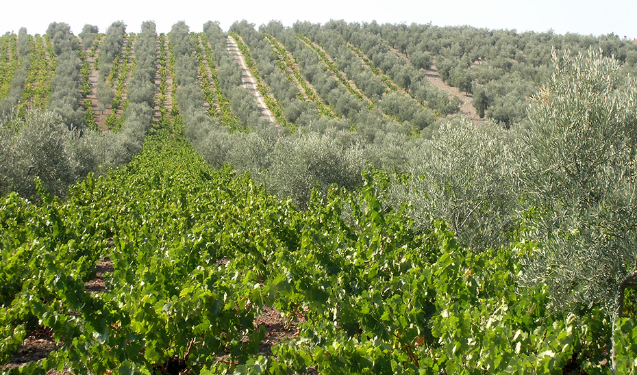 Viñedos entre olivos en Moriles (Foto: Miguel Lara).