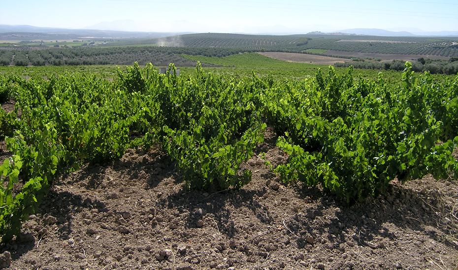 Un viñedo en el término cordobés de Aguilar de la Frontera (Foto: Miguel Lara).
