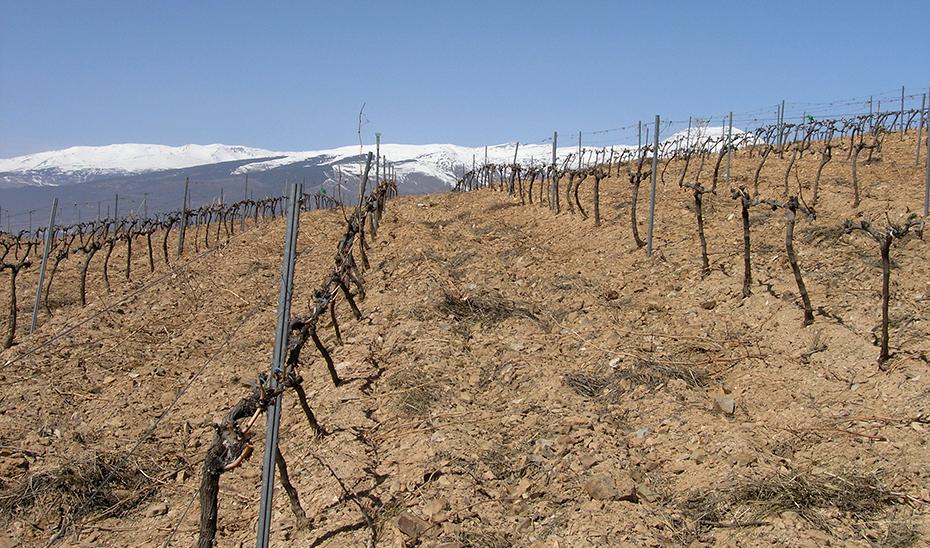 Viñedo de Cádiar, en la Alpujarra granadina, con las cumbres de Sierra Nevada al fondo (Foto: Miguel Lara).