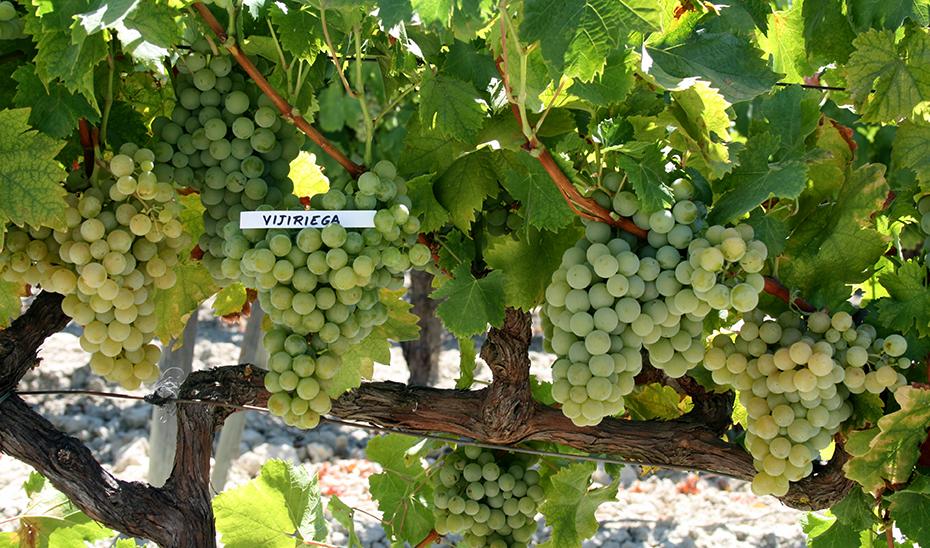 Cepa de una de las principales variedades de uva de la zona, la Vijiriega (Foto: Miguel Lara).