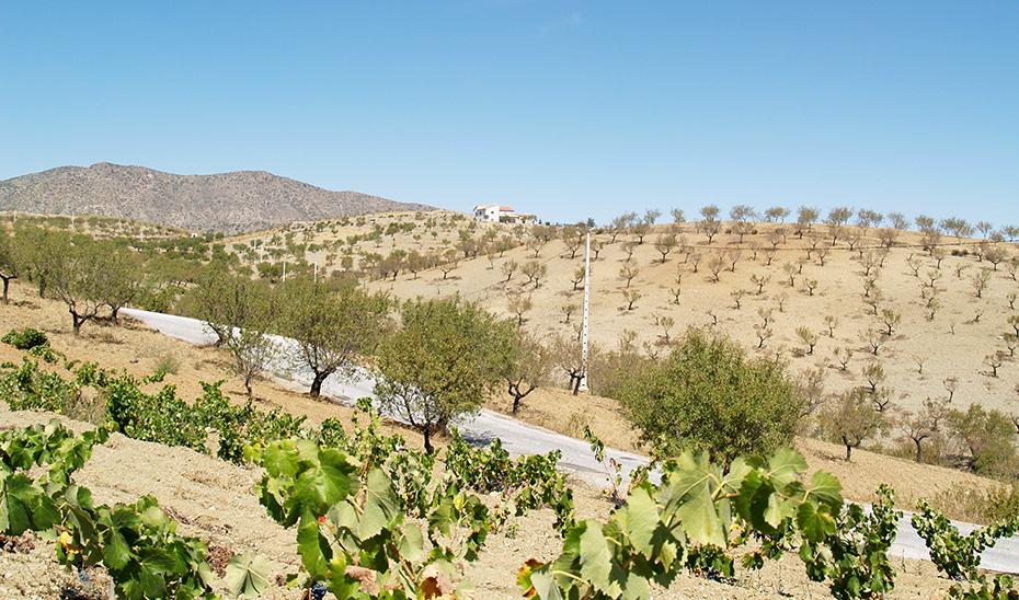 Un viñedo en la zona de Vélez Rubio (Foto: Miguel Lora).