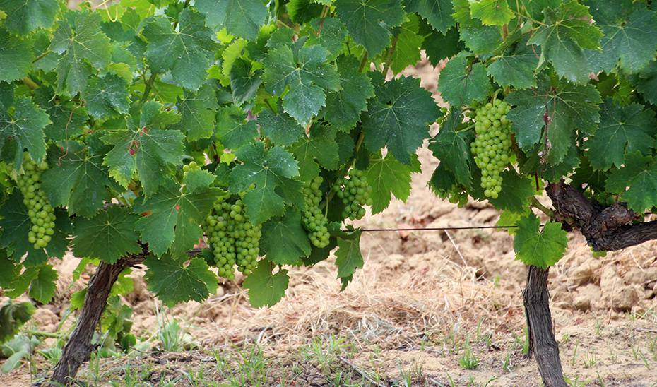 Cepas de la variedad zalema, característica de los vinos del Condado de Huelva.